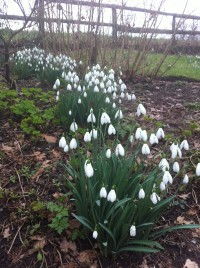 Snowdrops at Rode Hall