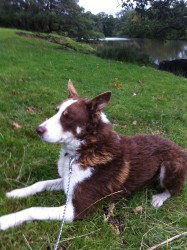 Brown and White Collie Sheepdog