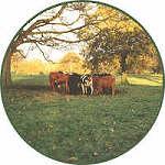 cowsautumns